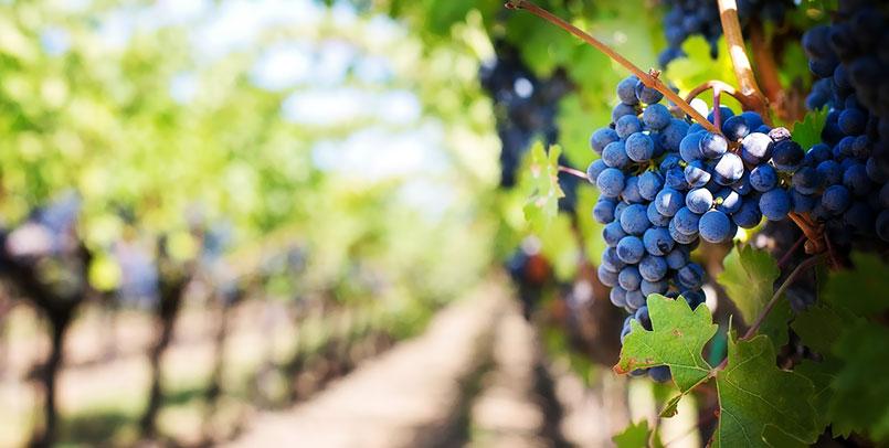 cultivo-uvas-el-bierzo